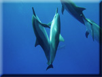 Uplifting dolphin messages to assist people in integrating the changes taking place and entering/re-entering an empowered, connected state of awareness.